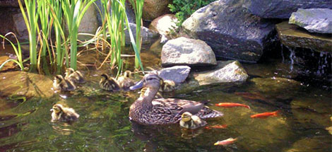 Ducks in Water Garden